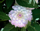 Shy Dahlia by trixxie17, photography->flowers gallery