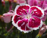 """Fire and Ice"" Dianthus by trixxie17, photography->flowers gallery"