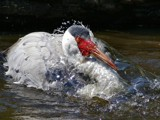 Splash Zone! by Paul_Gerritsen, Photography->Birds gallery