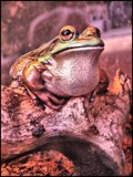 Golden Bell Frog by Dunstickin, photography->reptiles/amphibians gallery