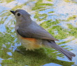 Bird bath by GomekFlorida, photography->birds gallery