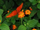 Orange on Orange by wheedance, Photography->Butterflies gallery