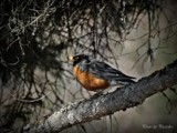 Robin by picardroe, photography->birds gallery
