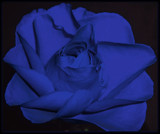 Bluest Rose by ccmerino, Photography->Macro gallery