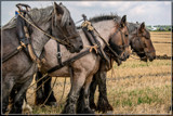 Ploughing Competition 04 by corngrowth, photography->animals gallery