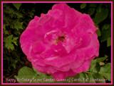 Happy Birthday Pat by trixxie17, photography->flowers gallery