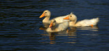 Three Little Duckies by tigger3, photography->birds gallery