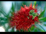 Bottle Brush by Samatar, Photography->Flowers gallery