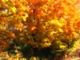 Gibson Sunburst by jojomercury, Photography->Nature gallery
