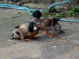 Duck fight by owldgirl, photography->birds gallery