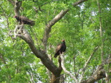 Buzzards by Mvillian, Photography->Birds gallery