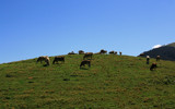 More Cows by boremachine, Photography->Animals gallery