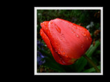 Tulp van Nieuw Zeeland by LynEve, Photography->Flowers gallery