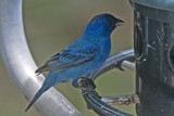 Another Indigo Bunting by gharwood, photography->birds gallery