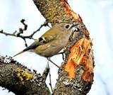 Goldcrest by biffobear, photography->birds gallery