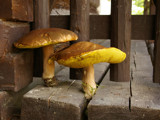 ...couple by EmionD, Photography->Mushrooms gallery