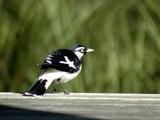 Magpie Lark by Samatar, photography->birds gallery