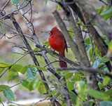 Cardinal Crest by gharwood, photography->birds gallery