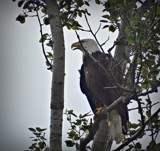 Bald Eagle # 4 by picardroe, photography->birds gallery