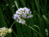 Allium Stellatum by trixxie17, photography->flowers gallery