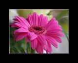Pretty in Pink by fra99y, Photography->Flowers gallery