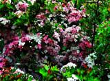 Pinky by biffobear, photography->flowers gallery