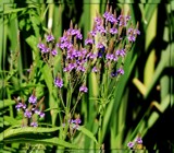 Air Station Prairie - Blue Vervain by trixxie17, photography->flowers gallery