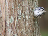 Black & White Warbler by madmaven, Photography->Birds gallery