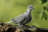 Euarsian Collored Dove by egggray, photography->birds gallery