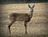 Deer 45 by picardroe, photography->animals gallery