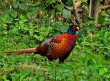 Cock Pheasant by biffobear, photography->birds gallery