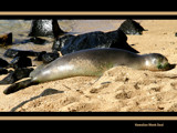 monk seal by jeenie11, Photography->Animals gallery