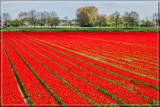Zeeland Tulip Fields 3 by corngrowth, photography->landscape gallery