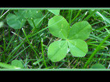 Four-Leaf Clover! by shaymayca1, Photography->Nature gallery