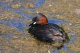 Dabchick by biffobear, photography->birds gallery