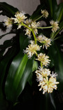 Yucca Flowers? Are You Sure? by braces, photography->flowers gallery