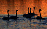 On Golden Swan by 0930_23, photography->birds gallery