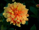 Gingersnap Dahlia by trixxie17, photography->flowers gallery