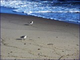 Piping Plovers by Pjsee16, photography->birds gallery