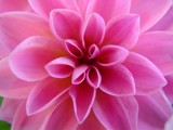 Pink Dahlia Macro by loganjw, Photography->Flowers gallery