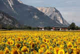 Swiss Sunflowers by Paul_Gerritsen, Photography->Mountains gallery