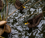 Some Days are Just Ducky by Pistos, photography->birds gallery