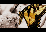 Flutter by Butterfly by jfrudyii, photography->butterflies gallery