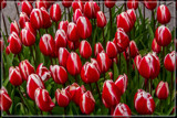 Amsterdam Tulip Festival 07 by corngrowth, photography->flowers gallery