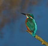 Kingfisher by biffobear, photography->birds gallery