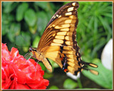"""""""Better Fly"""" by Ramad, Photography->Butterflies gallery"""