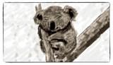 Desperate Plight Of The Koala by bfrank, illustrations gallery