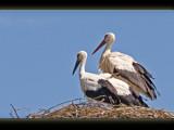 storks by kodo34, Photography->Birds gallery