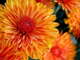 Mums The Word!! by Asrai, photography->flowers gallery