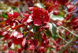 Red Crabapple Tree Blooms by trixxie17, photography->flowers gallery